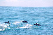 Picture 'Nz2_11_7 Dolphin, Dusky Dolphin, New Zealand, Kaikoura'